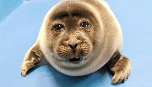 【人面画像】鳥羽水族館アザラシ赤ちゃんはコラ?本物?「人間みたい」と話題に!